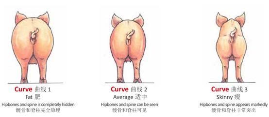 怎么给猪配种,配种管理指南(连载九)
