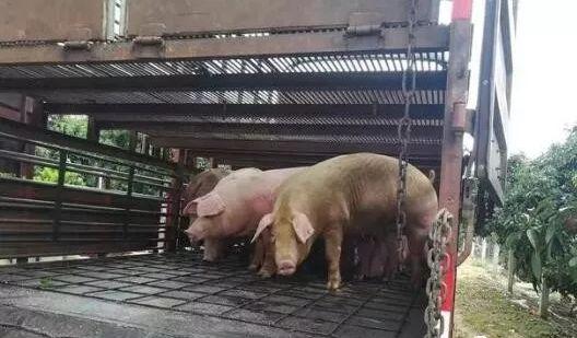 不用盖猪舍也能养猪,快来看一下养猪大棚的建设方法吧!