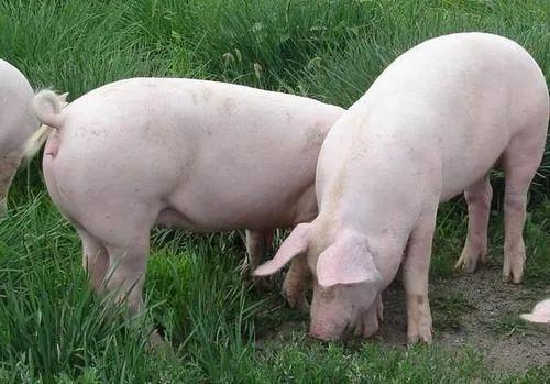 最后一个40元猪价消失!1省连发3例非瘟,养猪行情要失守?