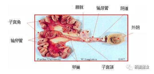 有图有真相!通过剖检诊断后备母猪生殖系统问题(附解决方案)