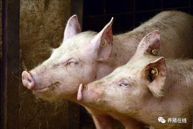 治猪呼吸道病体会,不能单靠抗生素治疗!