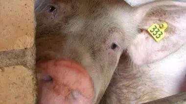 您知道如何解释猪场的留用率吗?