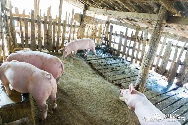 养猪技术,工厂化养猪怎样生产计划,猪群结构怎么构成