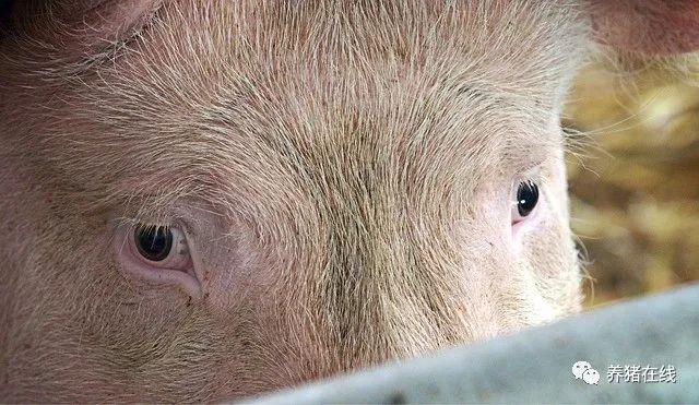 观察生猪眼睛知疾病,还不赶紧学起来!