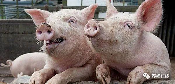 治疗猪气喘病的几种好办法!你都知道吗?