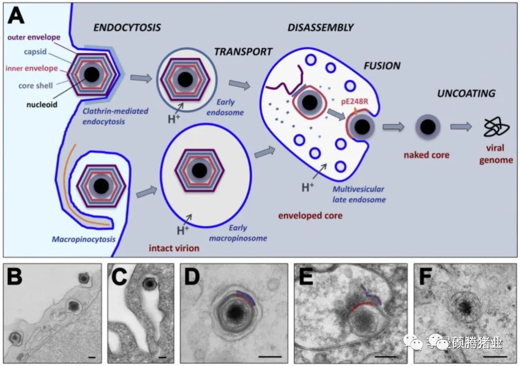 非洲猪瘟病毒可通过哪些方式进入细胞?对我们有什么启示?