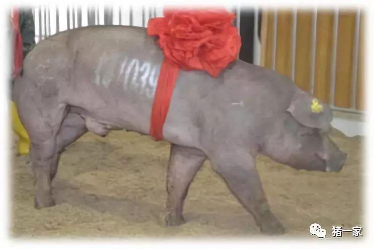 新式猪场下的规模化种公猪站建设(一)