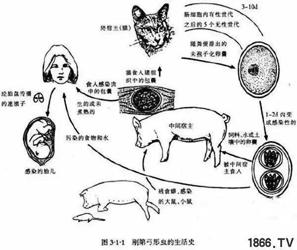 看图识别猪弓形体病,夏季多发,比猪瘟还可怕!到底有多厉害?养猪的你一定要重视!