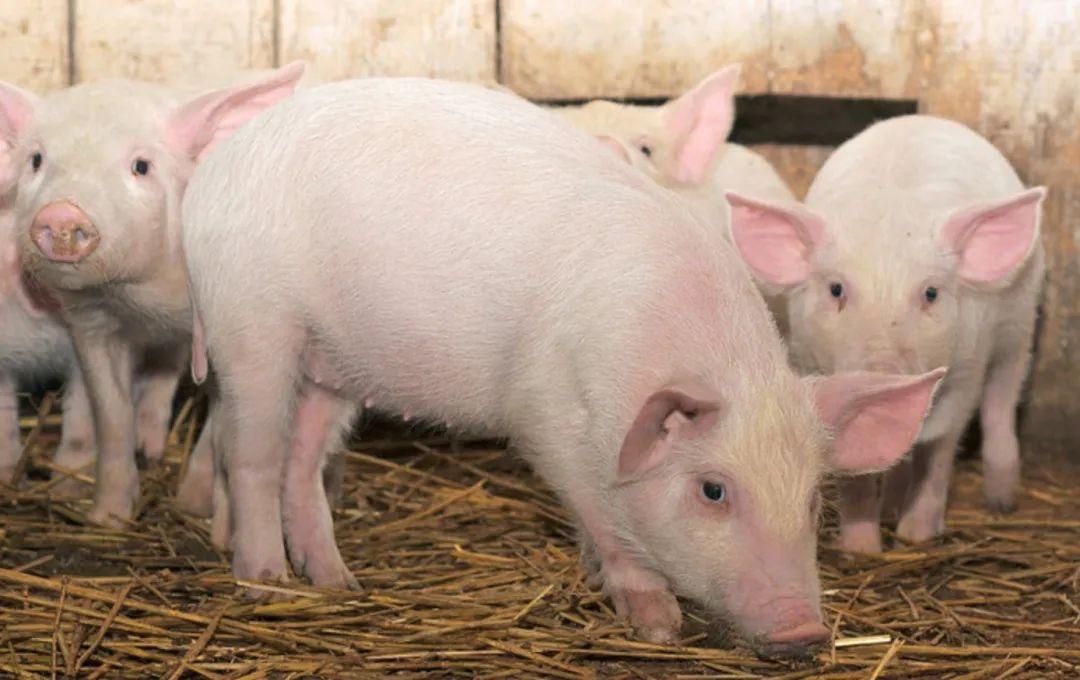 技术精选 | 非洲猪瘟背景下的猪场批次化管理
