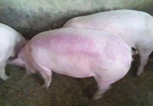 猪皮肤发红发紫是什么病?千万别搞错了病