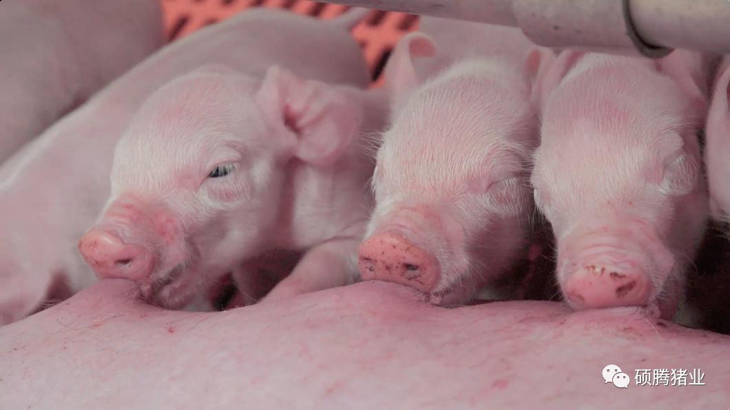 实现早期防护!国外试验表明1日龄仔猪注射猪蓝耳病(PRRS)疫苗可产生长时间的可靠免疫应答