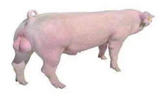 再帅的配种员也不如公猪来的快