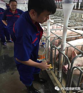 后备母猪批次化生产中:不发情,不明显,不静立,原因你知道吗?