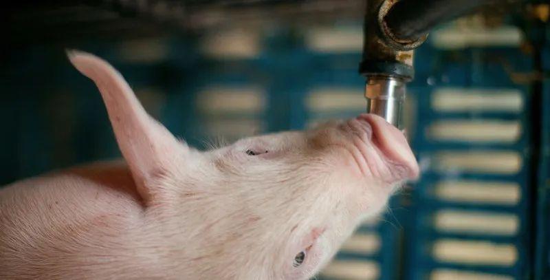 水质好坏对猪的生长并无明显影响