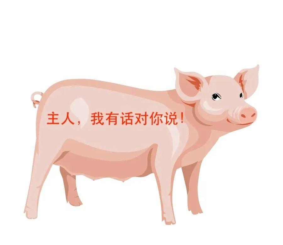 热应激、便秘、蹄趾病……,母猪夏季常见问题,一次性解决!