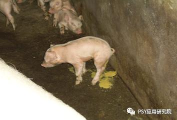 饲料禁抗,断奶仔猪腹泻多发,可以用酸化剂试试