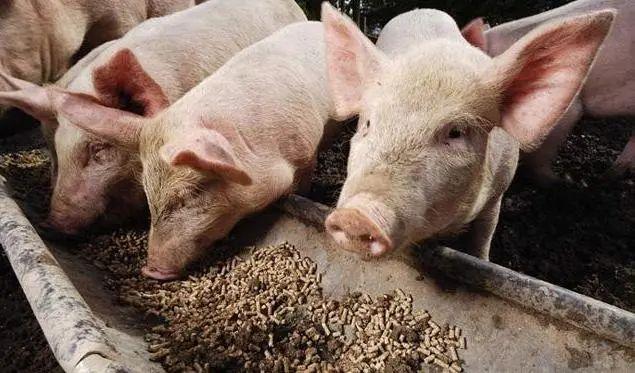 喂猪吃土有技巧,不仅能让猪长得好,而且生病少