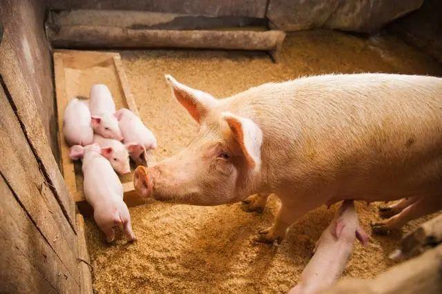 怎么通过辨别猪尿的方法来判断猪群是否患病?