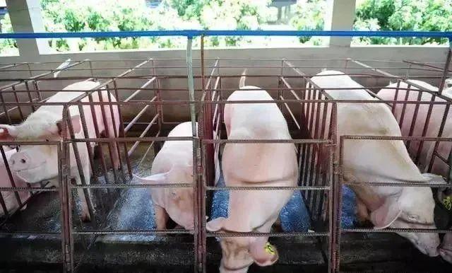有多少养猪人还蒙在鼓里,限位栏的使用到底靠谱吗?