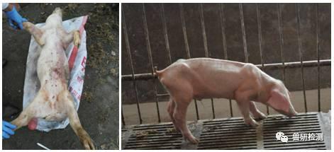 猪圆环病毒病及检测案例分析