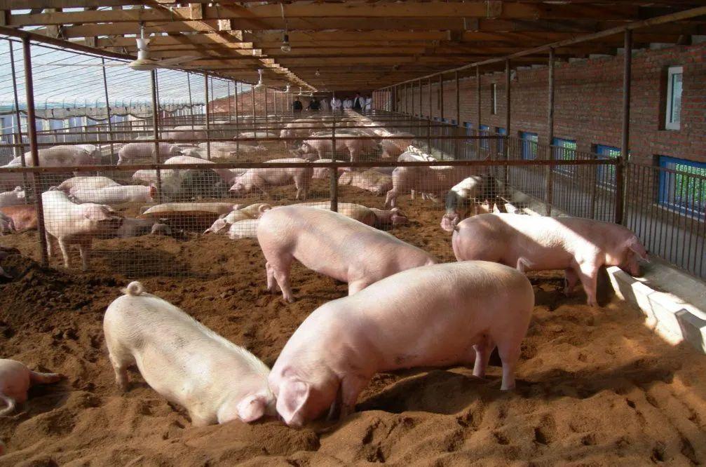 波兰暴发非洲猪瘟,超百头病猪被屠杀!