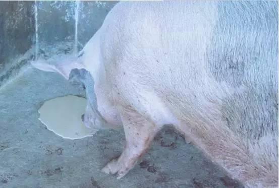 当你的猪呕吐了,你首先想到的是?