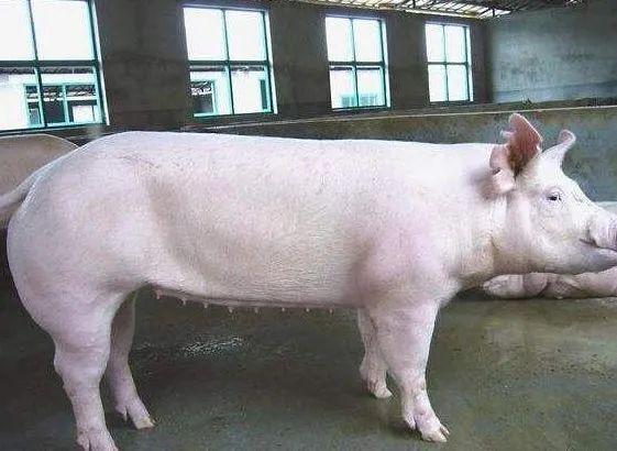 母猪不发情怎么办?教你几招!