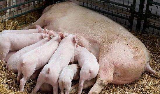 母猪产程过长,怎么办?看专家是如何做的!