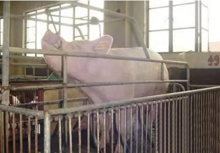 不同阶段猪只的前腔静脉采血技术要领,你掌握多少?