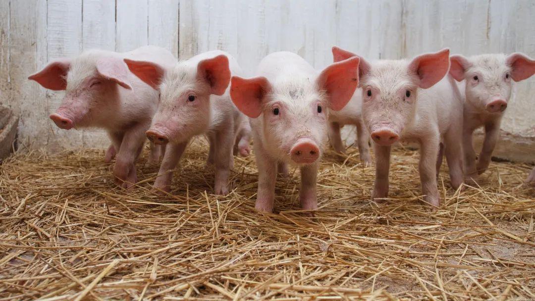 """猪业重新洗牌,多种新模式或熨平""""猪周期""""!"""