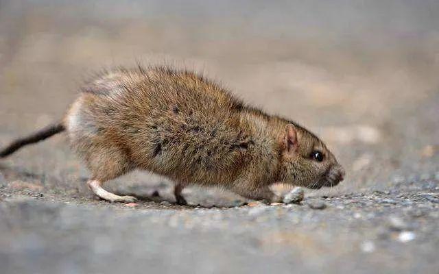 养殖场秋季如何避免鼠害侵扰?